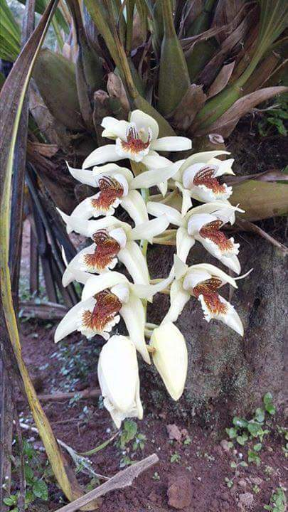 mt-sumagaya-creek-orchids-2